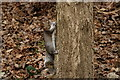 TQ3468 : Grey Squirrel by Peter Trimming