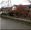 ST3091 : Red berries and green leaves, Almond Court, Malpas, Newport by Jaggery