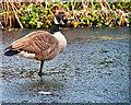 SD7807 : Goose on Ice by David Dixon