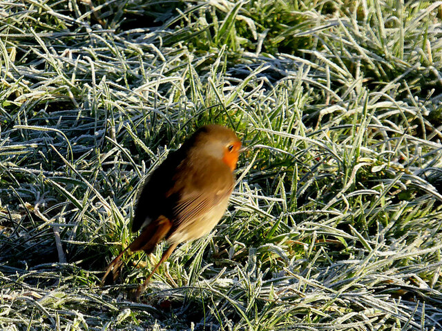A wee robin launches itself from the ground, Mullaghmore