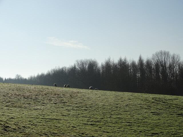 Sheep in frosty field
