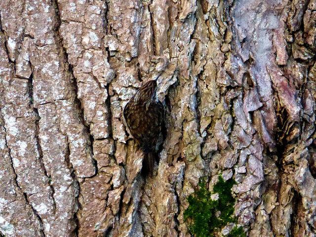 Tree creeper, Omagh