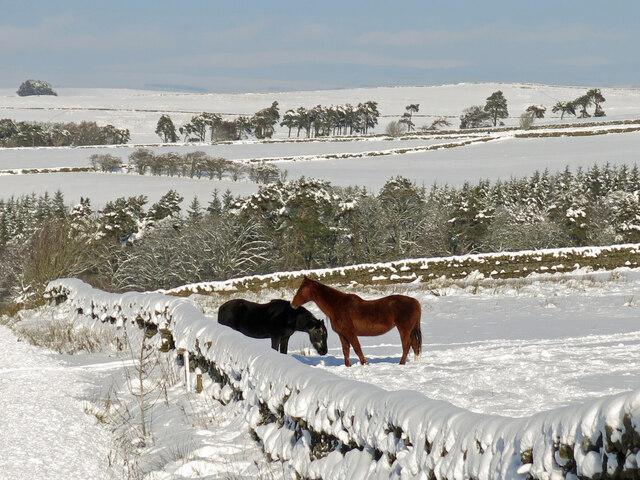Horses in the snow near High Studdon