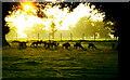 ST8083 : Fallow Deer, Badminton, Gloucestershire 1985 by Ray Bird
