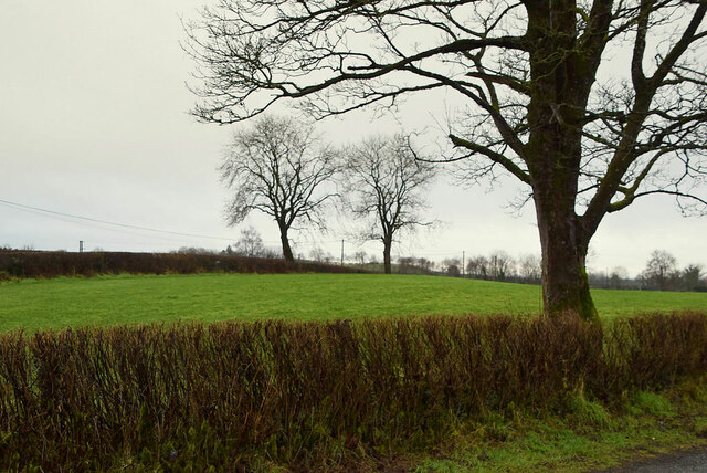 Hedge and tree along Cranmore Road