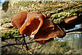 NJ3661 : Fungi by Anne Burgess