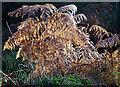 NJ3760 : Bracken (Pteridium aquilinum) by Anne Burgess