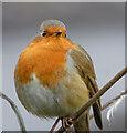 NS5766 : A Glasgow Robin by Thomas Nugent