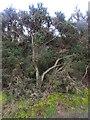 TG3430 : Huge Gorse Bush by David Pashley