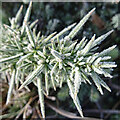 NJ3856 : Ice Crystals on a Whin by Anne Burgess