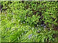 SJ9593 : Bluebells blooming by Gerald England