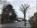 SK4933 : Trimmed road tree by David Lally