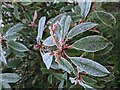 TF0820 : Frosted leaves by Bob Harvey