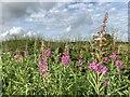 SJ8051 : Rosebay Willow-herb on Cross Lane by Jonathan Hutchins