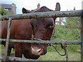 SJ9593 : Cow at Gee Cross Fete by Gerald England