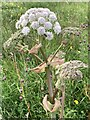 SJ7948 : Wild Angelica at Bateswood Country Park by Jonathan Hutchins