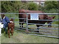 SJ9593 : Longdendale Herd of Pedigree Red Poll Cattle by Gerald England
