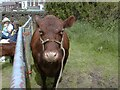 SJ9593 : Pedigree Red Poll Cow by Gerald England