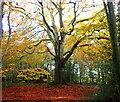 TQ7620 : Autumn Beech by Phil Brandon Hunter