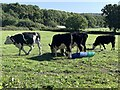 ST8426 : Cattle in field near Motcombe by Jonathan Hutchins