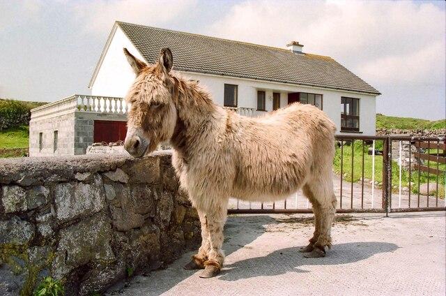 Inishmore Donkey