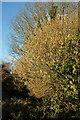 SX8957 : Catkins near Broadsands by Derek Harper