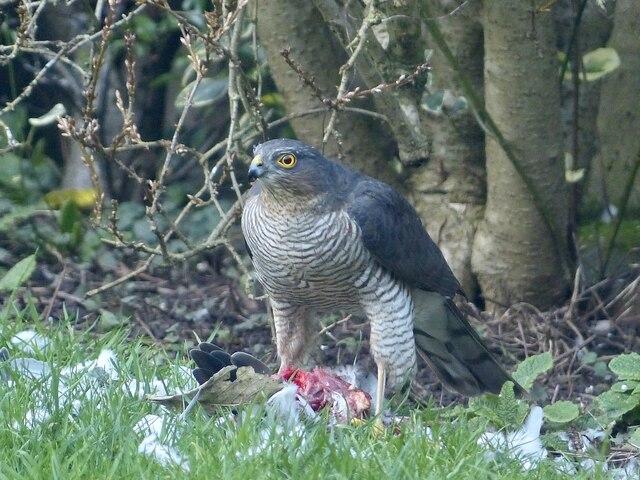 Sparrowhawk with prey, Newport