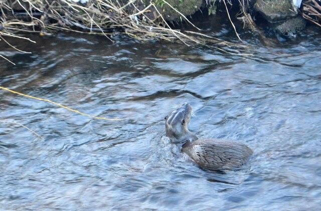 Otter in the Braidburn - 2