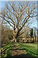 ST5493 : Large tree on Offas Dyke path by Clive Perrin