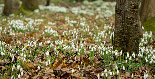Snowdrops by Cugley Cottage, 3