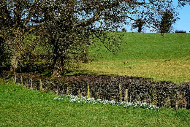 Snowdrops along a hedge, Syunshin
