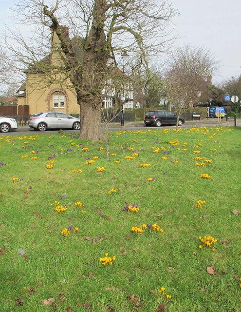 Crocuses on traffic island, Hanger Hill Garden Estate