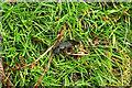 SX7278 : Devil's coach-horse beetle near Honeybag Tor by Derek Harper