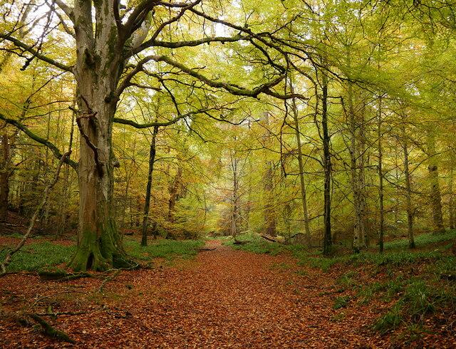 Beech woodland, Cawdor Wood