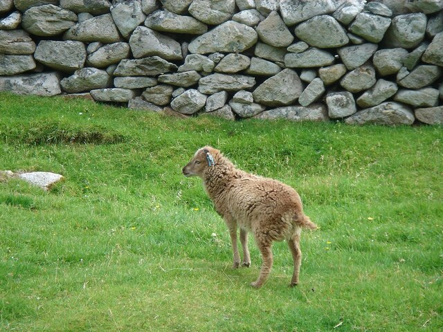 A young Soay sheep in 'The Village' (am Baile) on Hirta