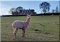 SO7982 : Alpaca at Brittle's Farm by Mat Fascione