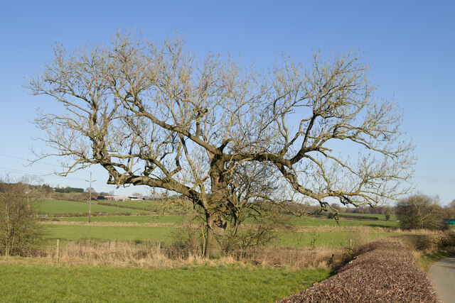 An unusual Ash tree, Castley Lane