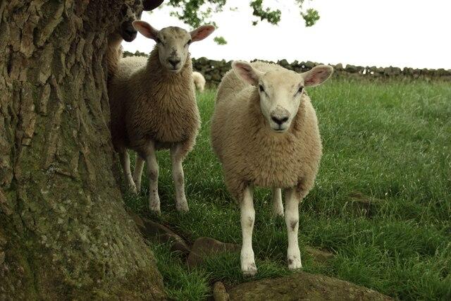 Sheep at Long Liberty Farm