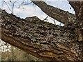 TF0820 : Lichens on an oak tree by Bob Harvey