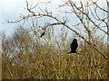 SJ9594 : A pair of blackbirds by Gerald England