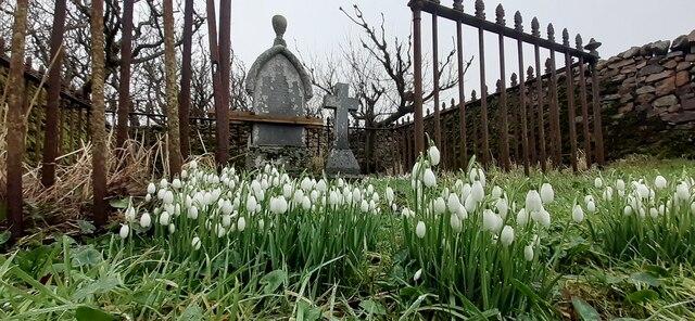 Snowdrops in the Halligarth graveyard, Baltasound