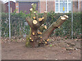 TG2830 : Coppiced tree on edge of Park by David Pashley