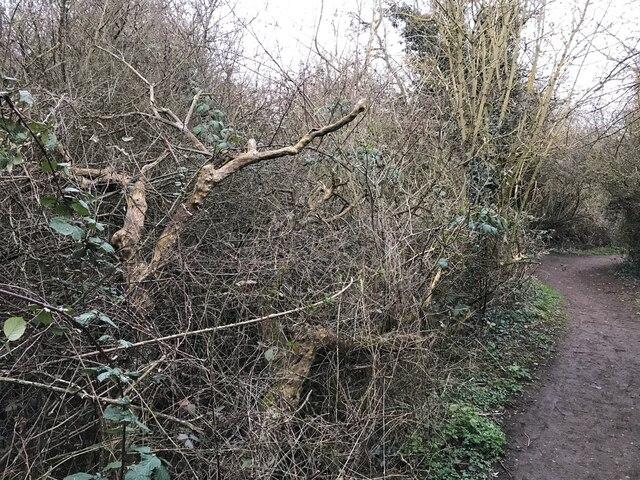 Dead tree beside the path