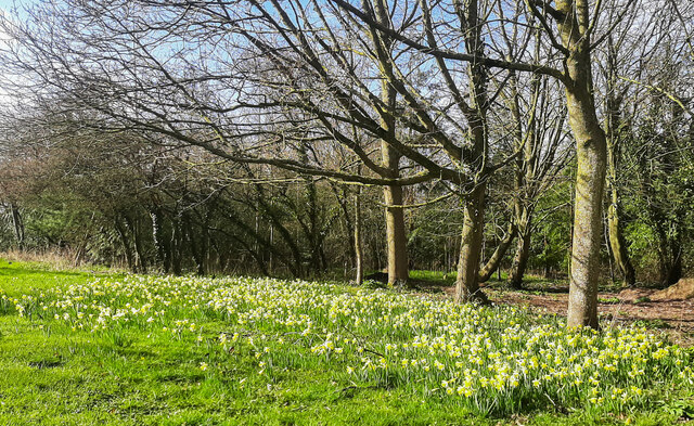 A patch of wild daffodils