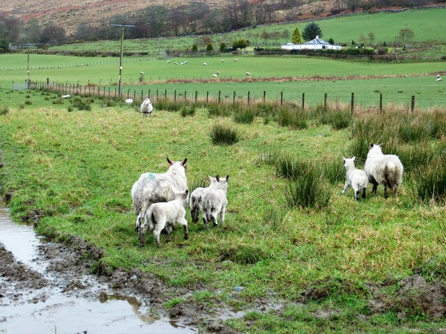 Lambs in a field at Auchafour