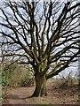 SO8881 : Oak tree along the bridleway by Mat Fascione