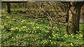 SX7963 : Daffodils by the Dart by Derek Harper
