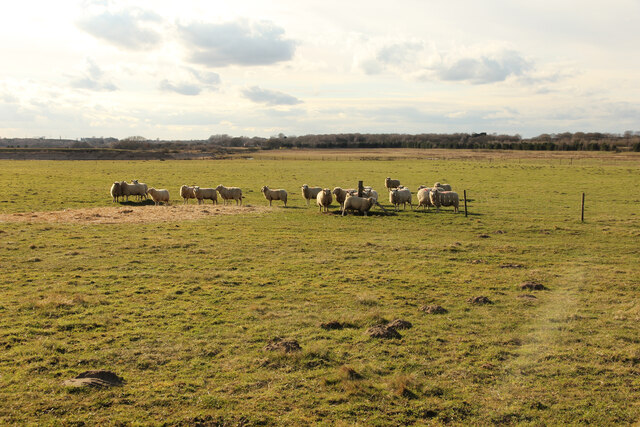 Sheep, Manton Warren