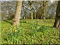 SE2039 : Daffodils in Micklefield Park by Stephen Craven