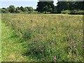 SP2964 : Knapweed in a wildflower drift, late June, St Nicholas Park, Warwick by Robin Stott